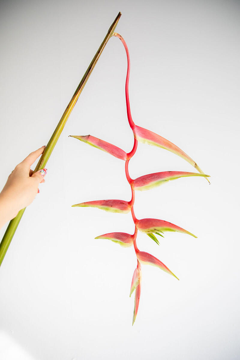 Hanging Heliconia Sexy Pink