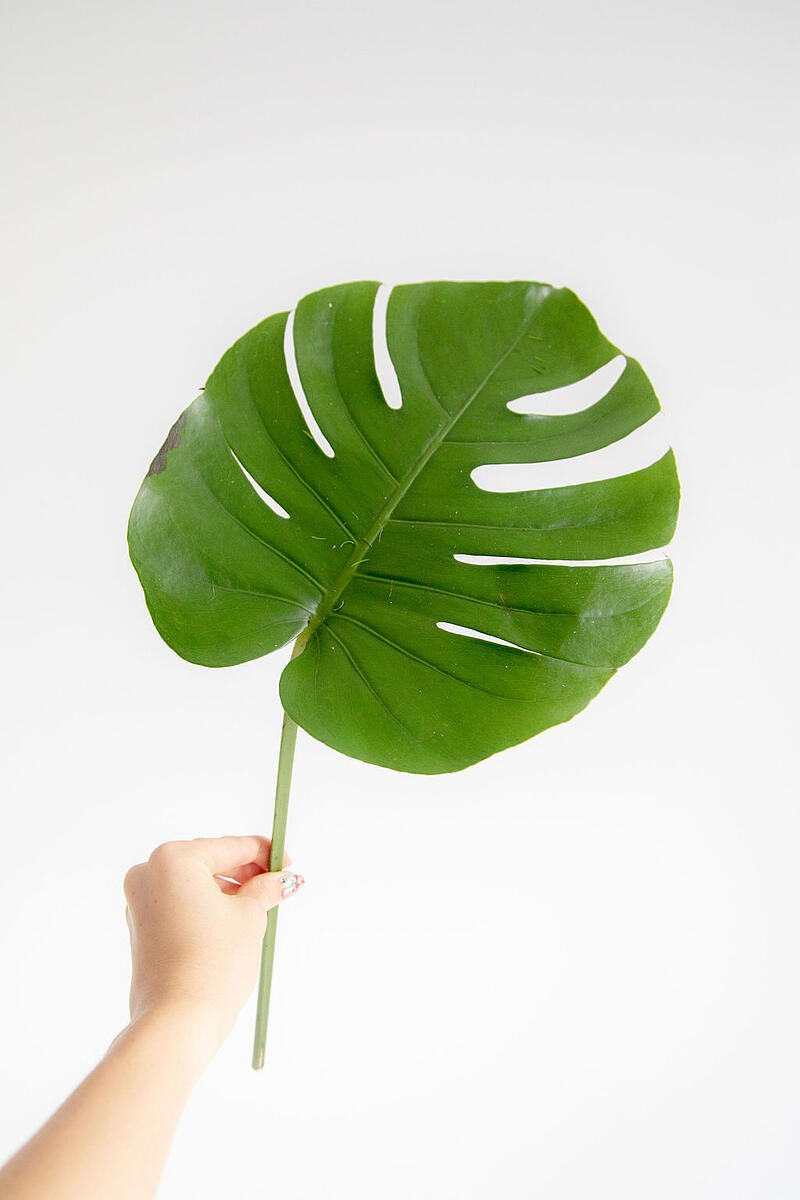 Monstera Mini