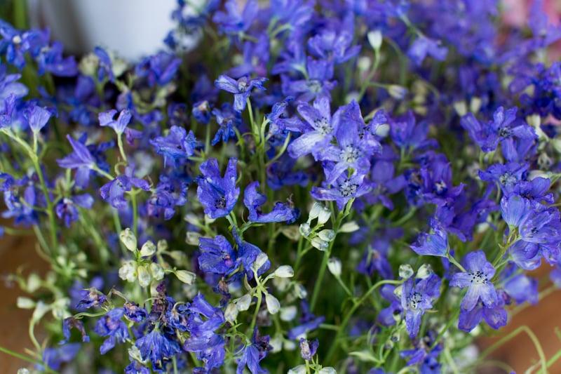 dark_blue_belladonna_delphinium