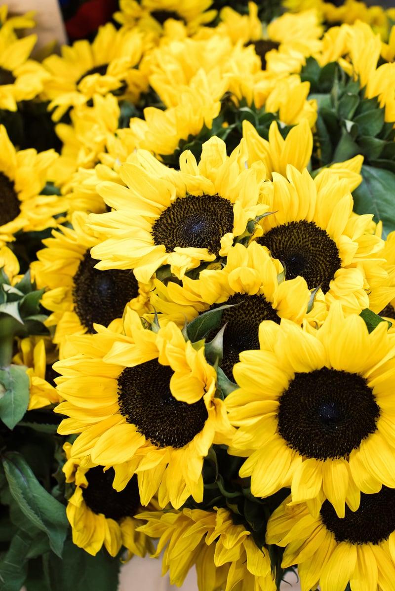 sunflower black center