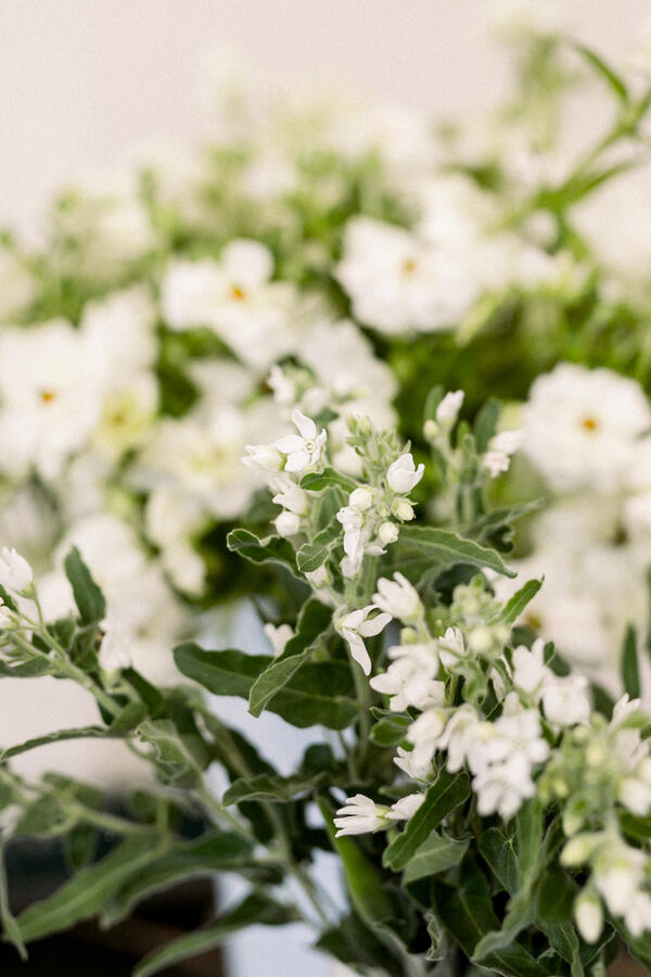 white tweedia and butterfly ranunculus