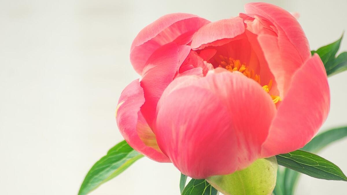 life-of-coral-charm-peonies-5-days