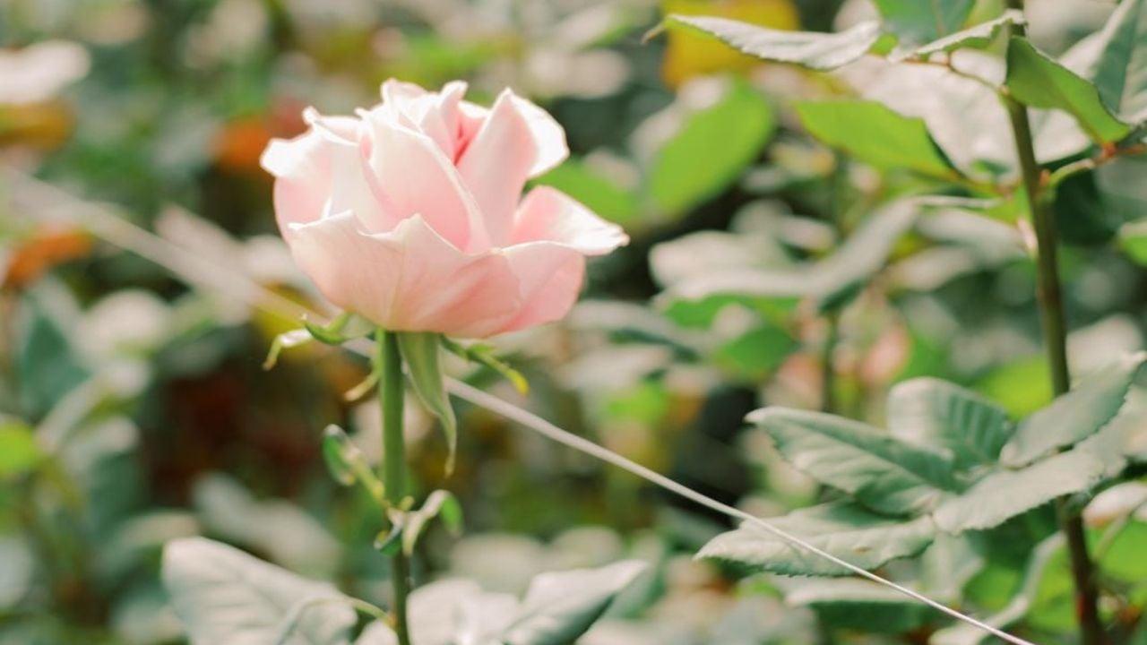 rose-update-100520