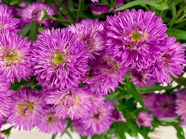 carnival-aster-duplo-purple-closeup