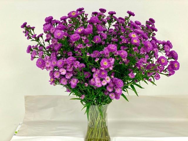 carnival-aster-duplo-purple
