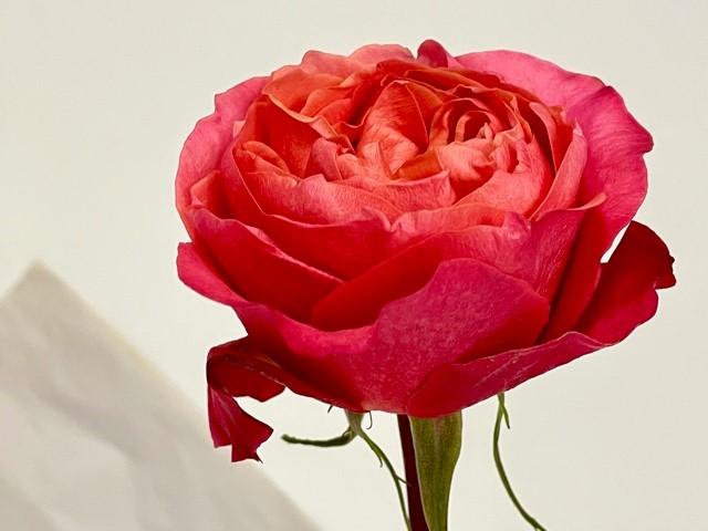 rose-dark-expression-2