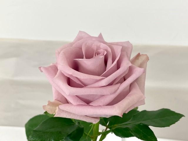rose-fair-lady-2