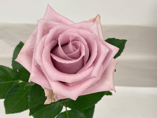 rose-fair-lady-3