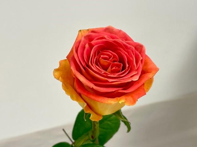 rose-grandiose-2