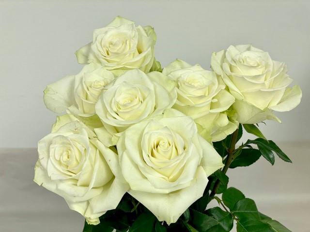 rose-mia-1