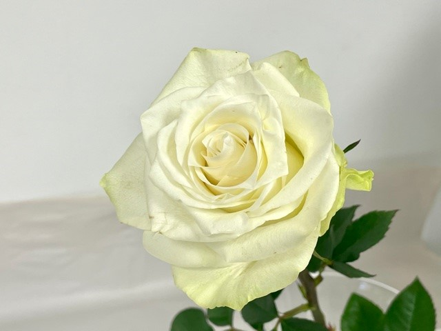 rose-mia-2