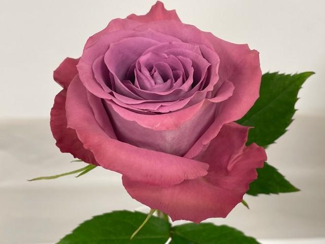 rose-piacere-1