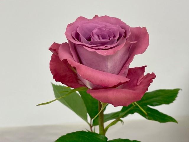 rose-piacere-2
