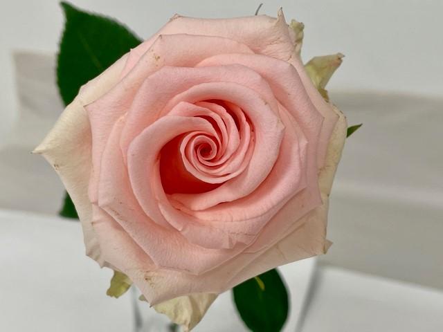 rose-unforgiven-2