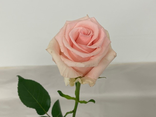 rose-unforgiven-3