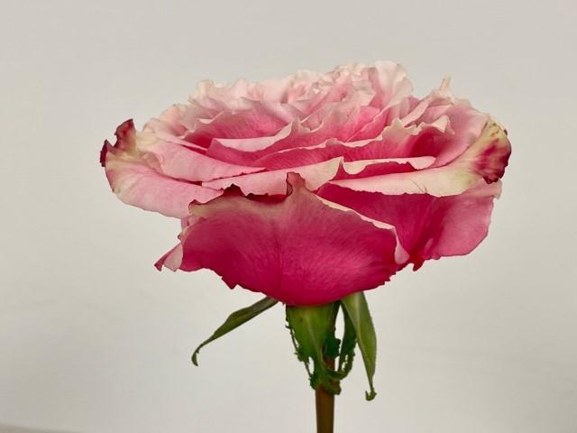 rose-wild-esperance-2