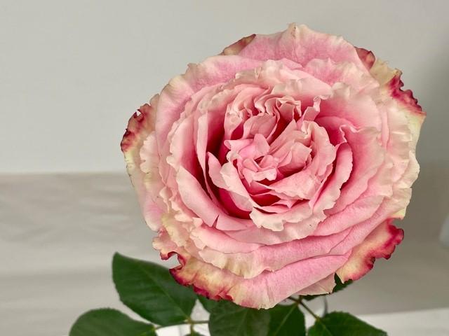rose-wild-esperance-3