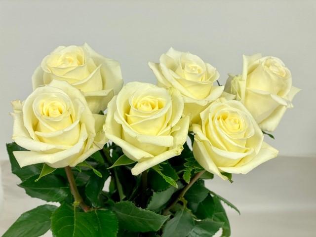 rose-zephyr-1