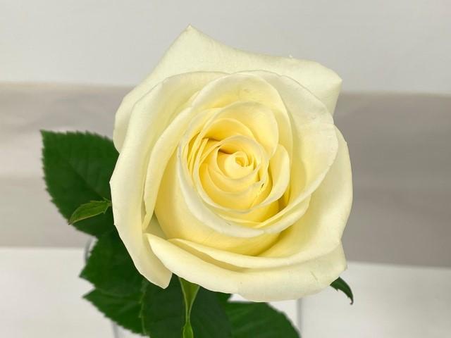 rose-zephyr-3