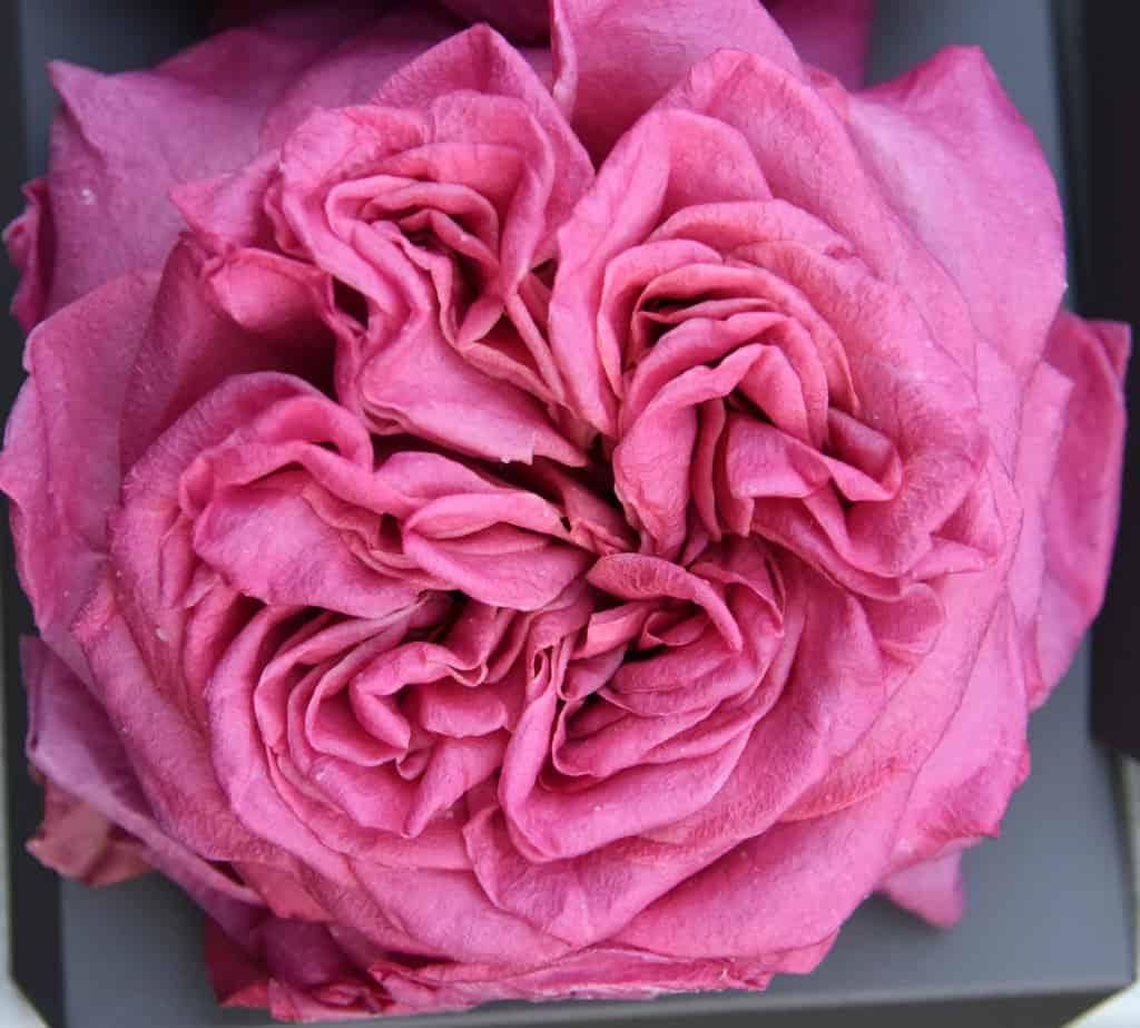 Freeze Dried Garden Rose Ashley