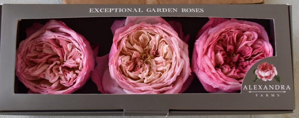 Freeze Dried Garden Rose Constance
