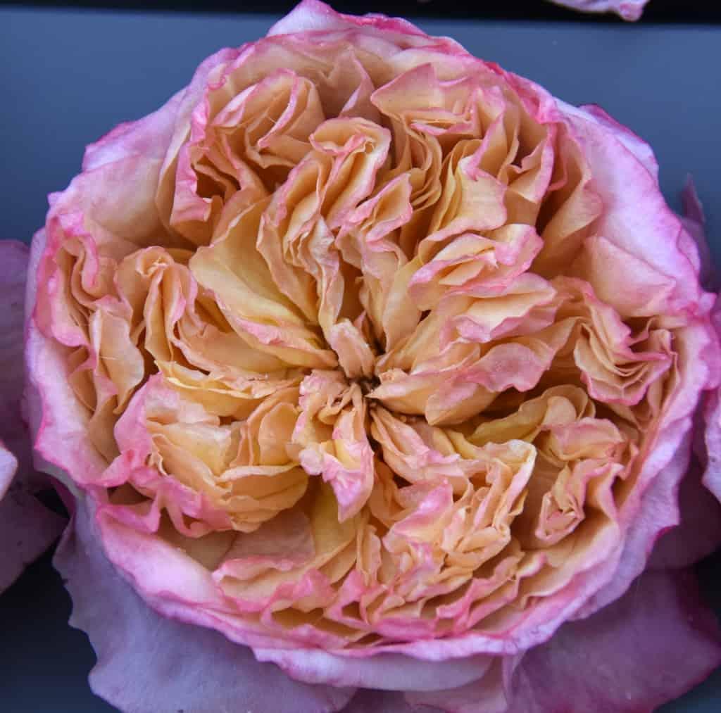 Freeze Dried Garden Rose Edith