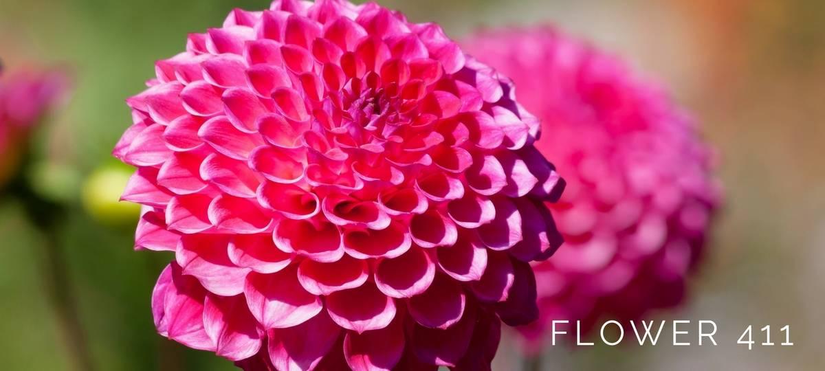 Flower 411 August