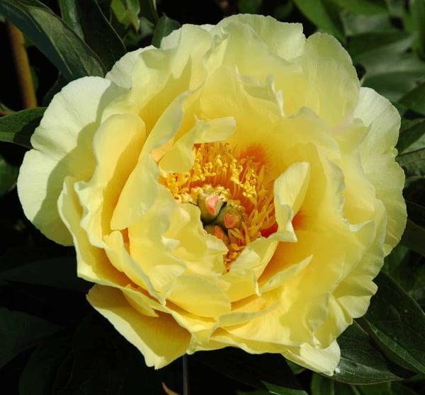 Adelman Peony Gardens Garden Treasure