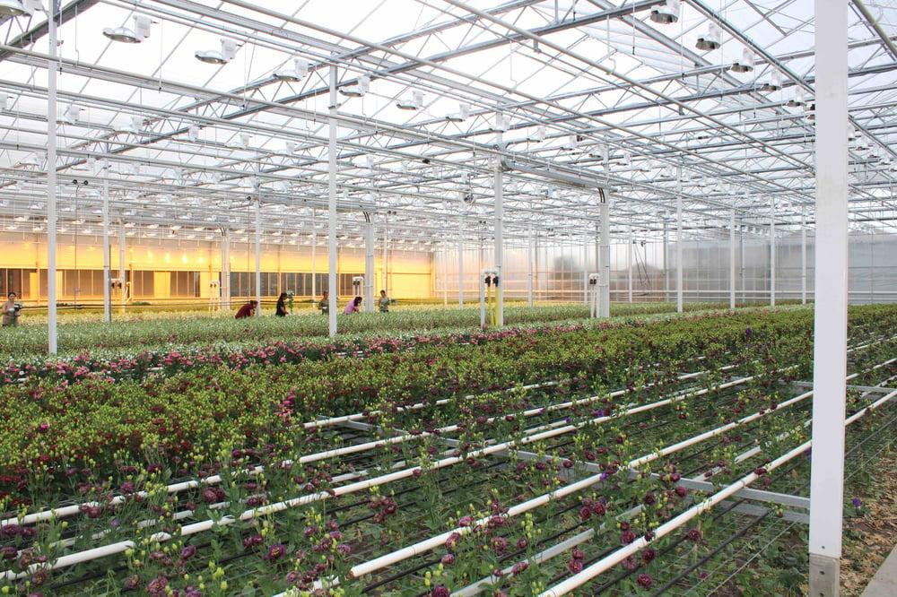 Mayesh Luxe Blooms Montana Lisianthus