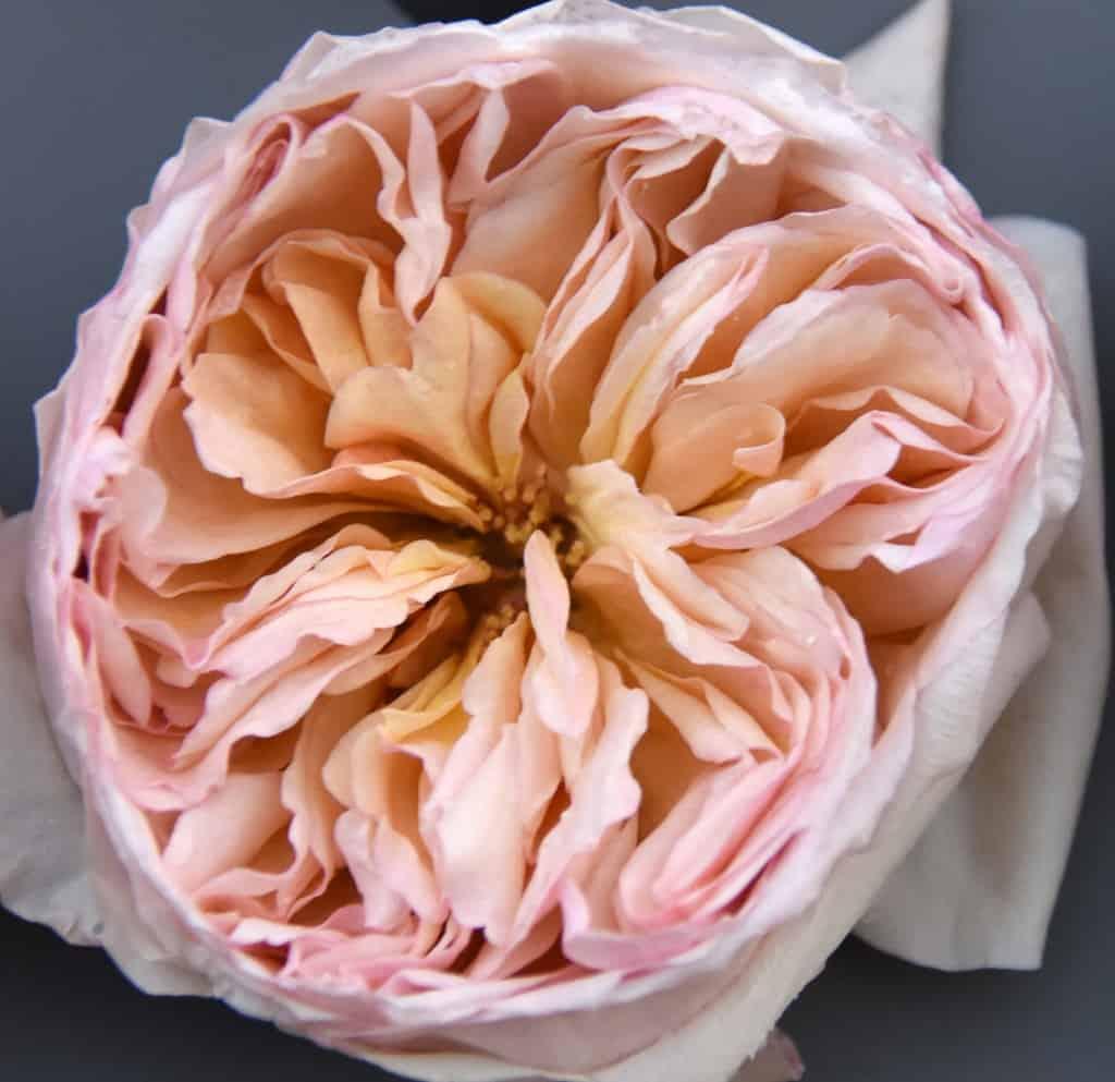 Freeze Dried Garden Rose Juliet