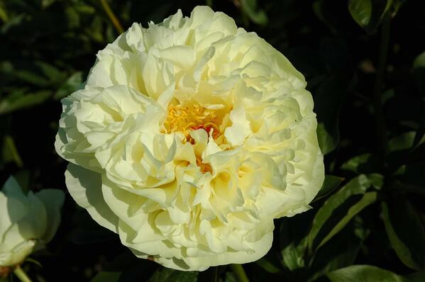 Adelman Peony Gardens Lemon Chiffon