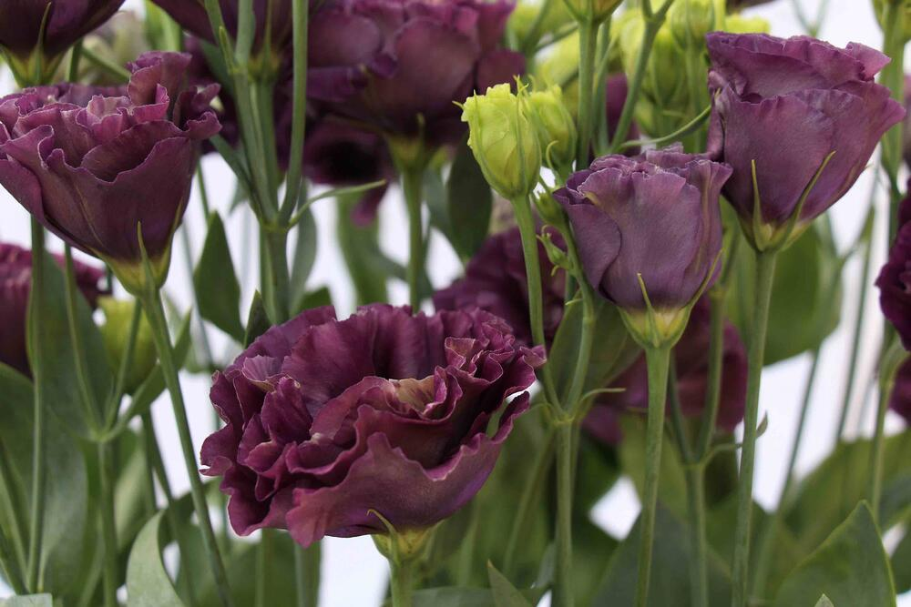 MONTANA lisianthus rosanne black pearl Mayesh Luxe Blooms