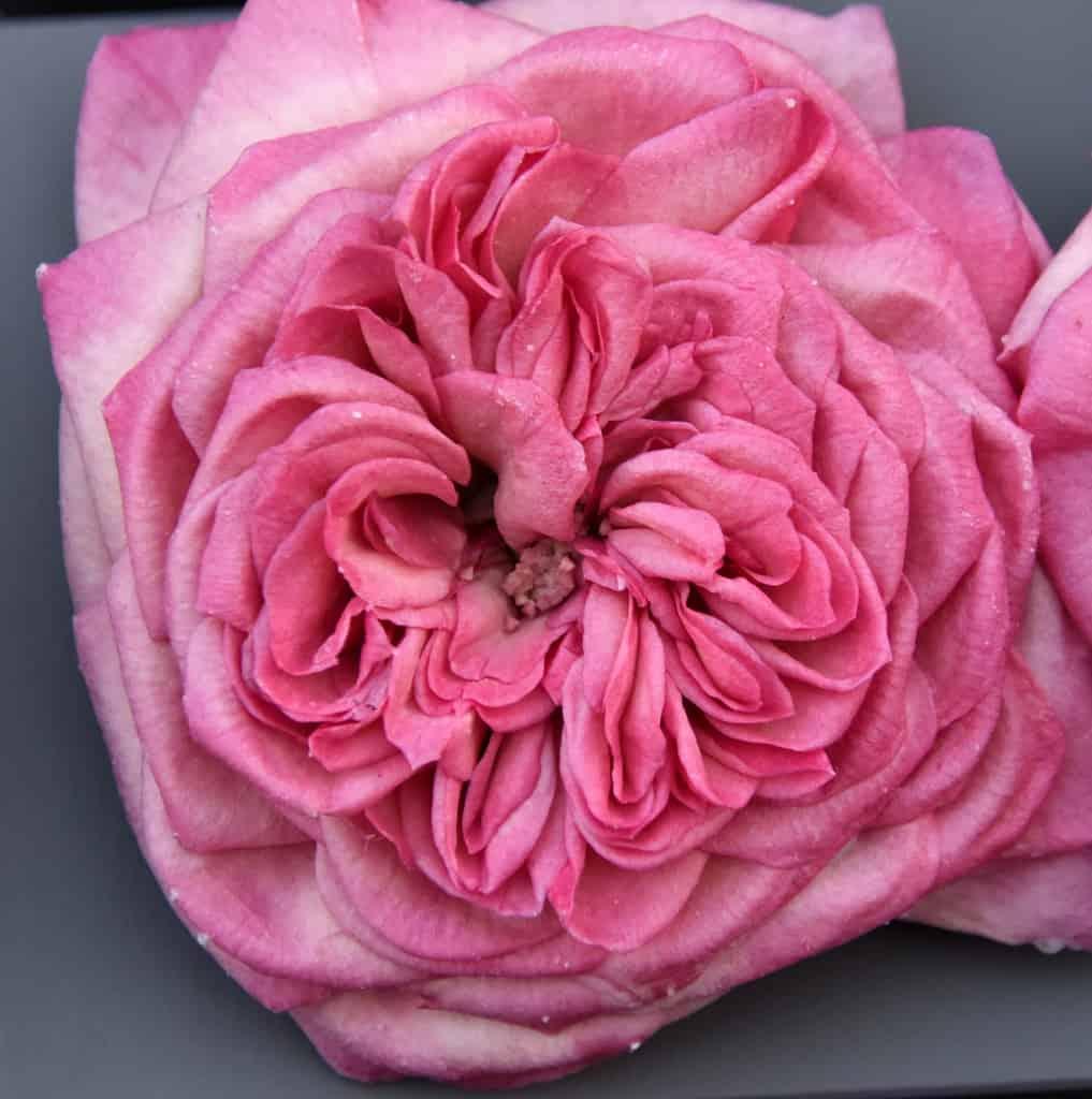 Freeze Dried Garden Rose Mariatheresia