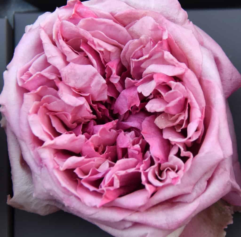 Freeze Dried Garden Rose Miranda