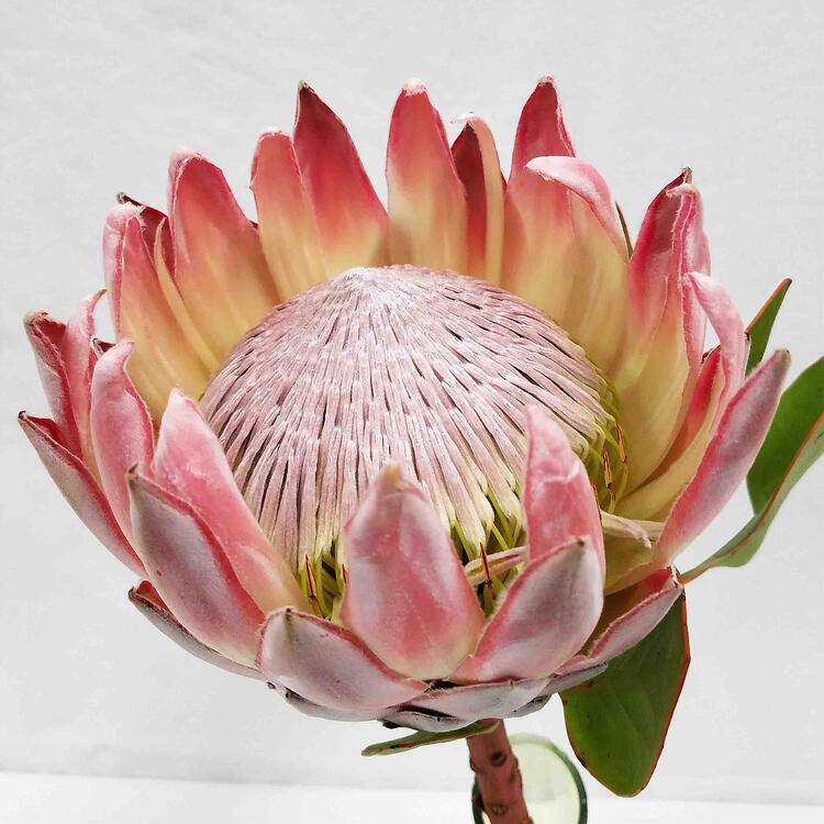 Mayesh Luxe Blooms PROTEA PINK KING