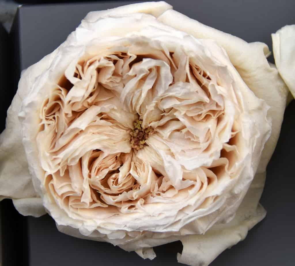 Freeze Dried Garden Rose Patience