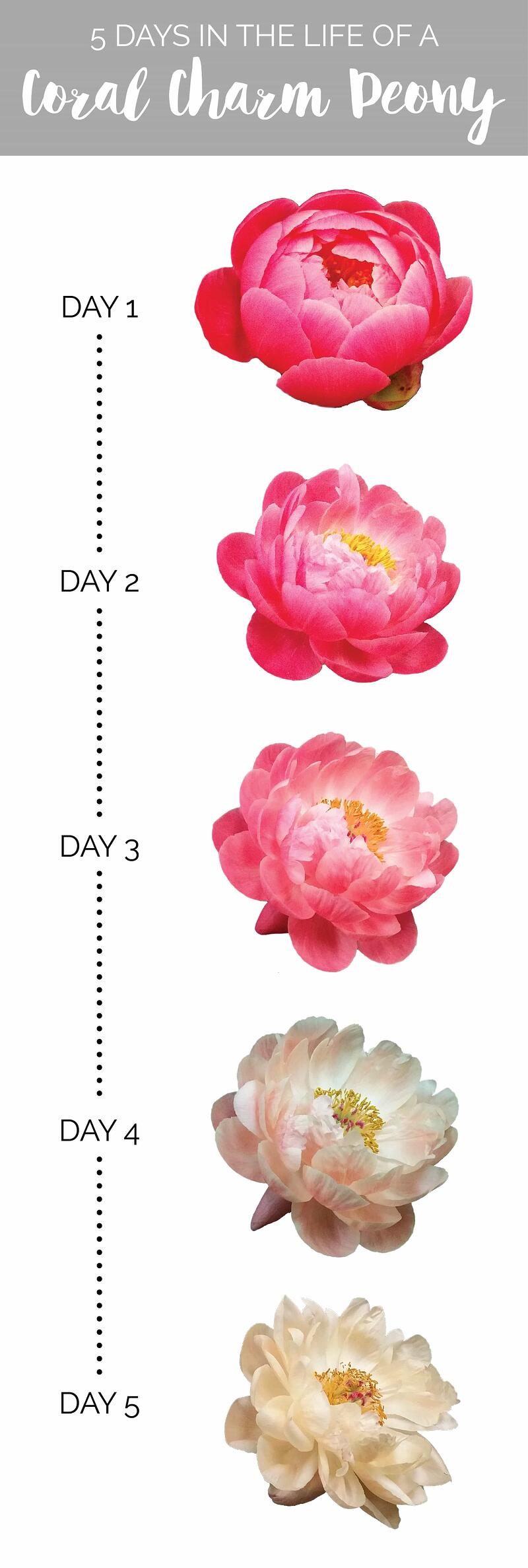Life of a Coral Charm Peony