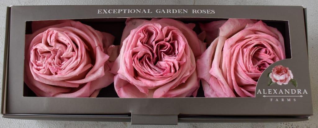 Freeze Dried Garden Rose Pink O'Hara