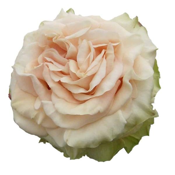 Peach Finesse Rose