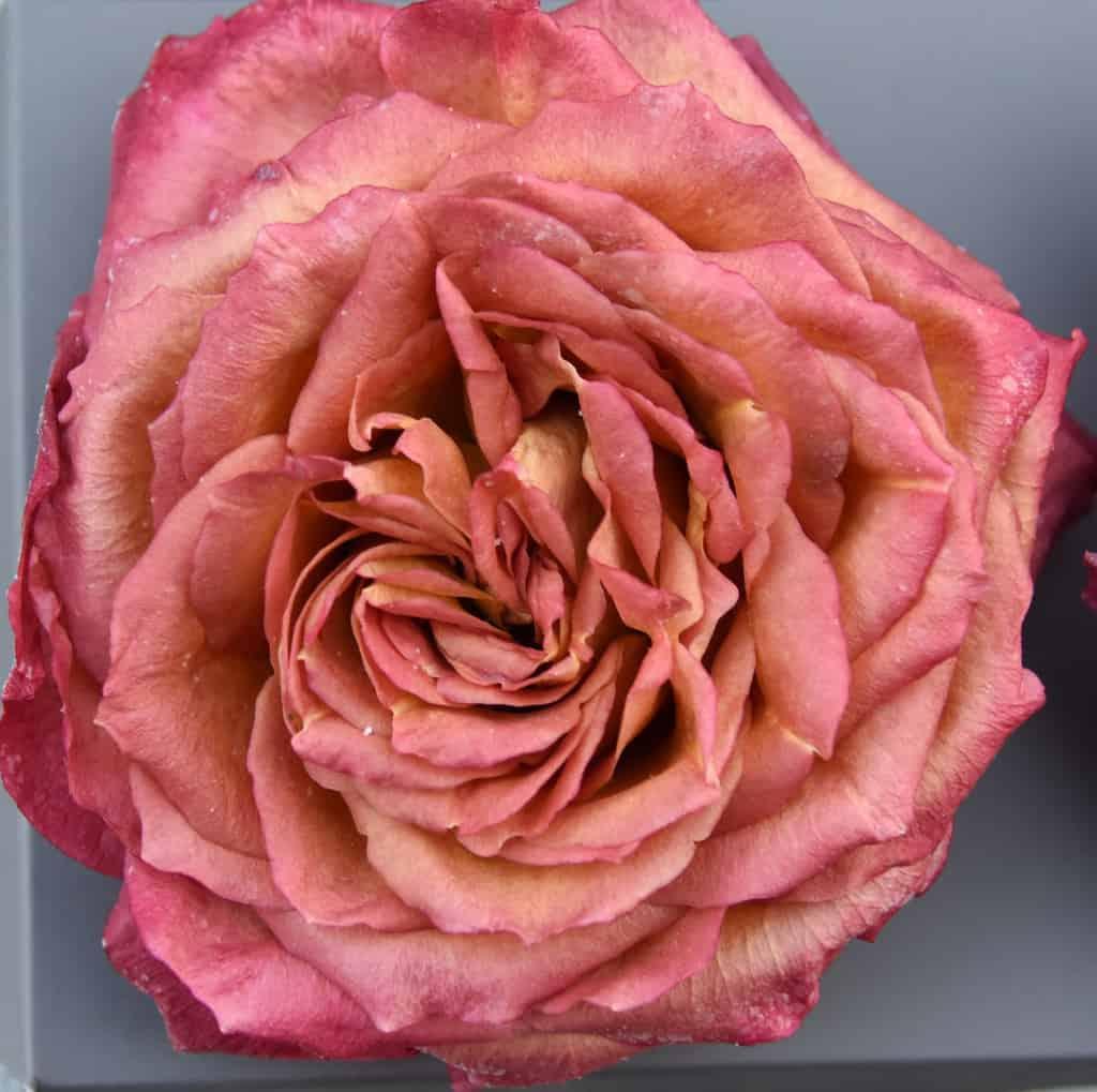 Freeze Dried Garden Rose Sunset