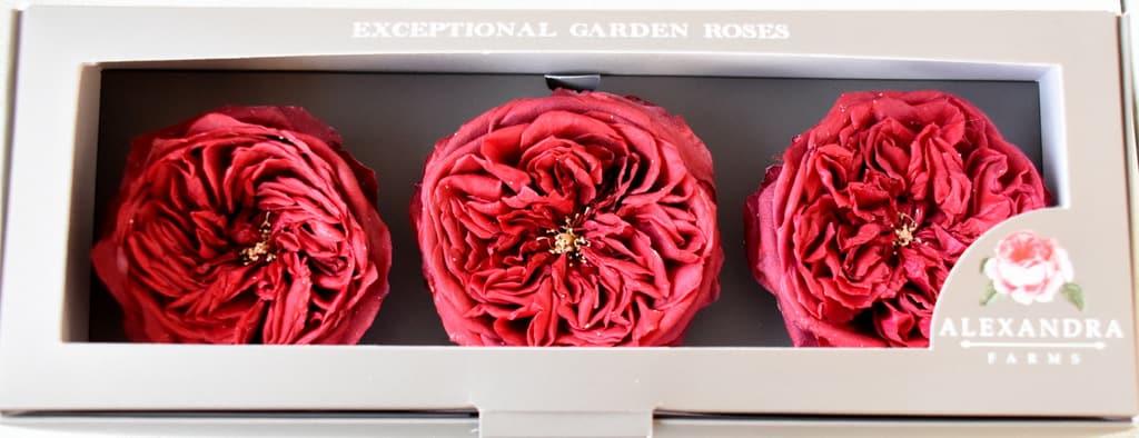 Freeze Dried Garden Rose Tess