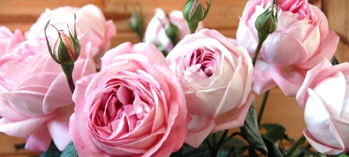 Voyage Garden Rose
