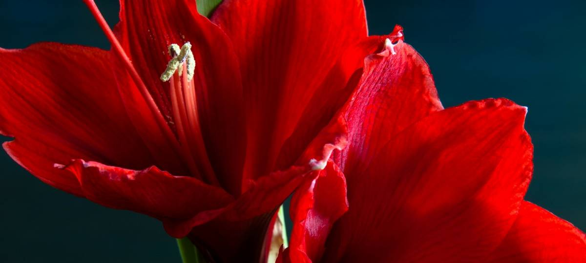Mayesh Minute: Dutch Amaryllis Farm