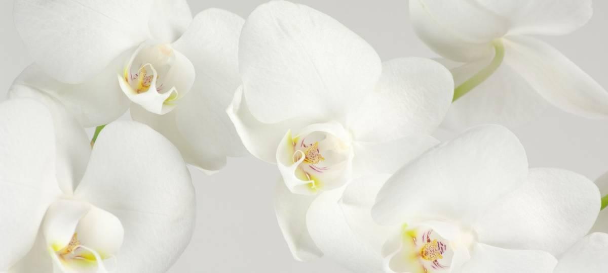 Mayesh Minute: Dutch Phalaenopsis Nursery