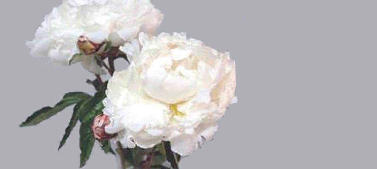 Flower 411 Peonies