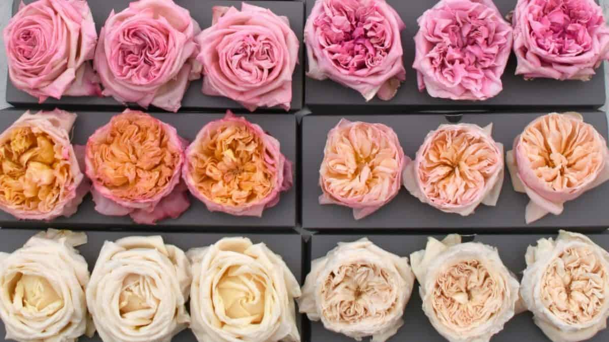 freeze dried garden roses