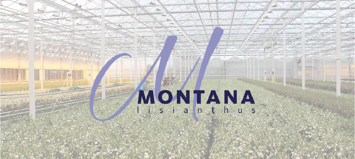 Montana Lisianthus