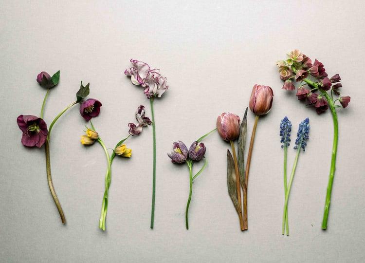 hellebores, sweet peas, fritillaria, muscari, brownie tulips