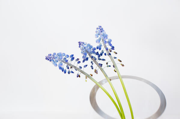 TUNING blue muscari