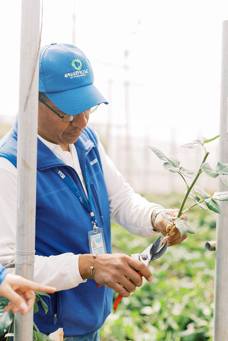 GreenRose employee demonstrating rose cultivation.